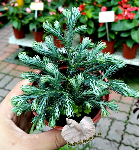 活體 [ 藍爪柏 小松樹小柏樹] 室外植物 3吋盆栽 送禮小品盆栽