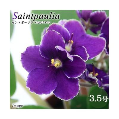 (観葉植物)セントポーリア バルバドス 3.5号(1鉢)