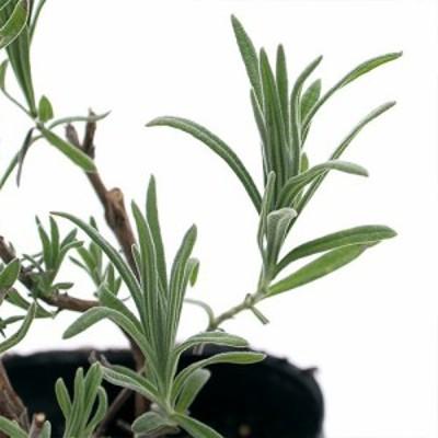 (観葉植物)ハーブ苗 ラベンダー ストエカス マール 3号(1ポット) 家庭菜園