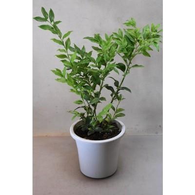 サルカコッカ 苗木 5号鉢 花木 常緑樹
