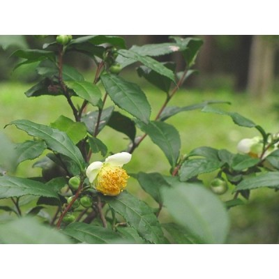 チャノキ 0.2m10.5cmポット 1本 1年間枯れ保証 低木