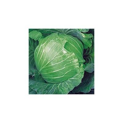 キャベツの種 火星H 20ml ( 野菜の種 )