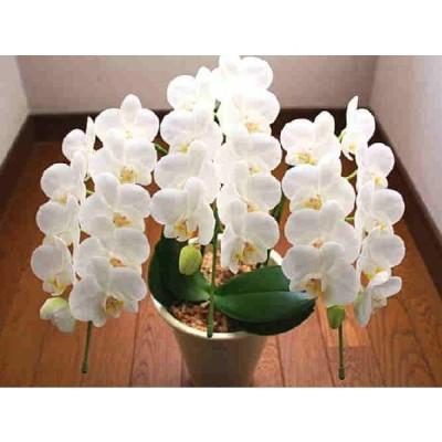 胡蝶蘭 ギフト 生花 白色系 3本立て ミディ系 お祝い、誕生日・お供えなどの 花 ギフト