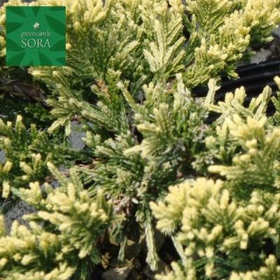 ゴールデンカーペット15cmポット 5本 植木 苗