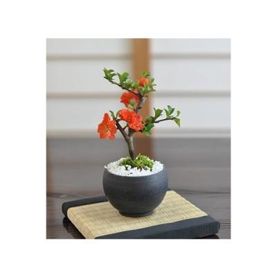 ミニ八重長寿梅 八重の花 ボリューム 盆栽 ミニ盆栽 四季咲き プレゼント 珍しい