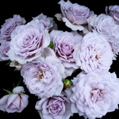 【12/29-1/6出荷停止】バラ苗 2年大株 4号 ノーブルシャイン Floribunda Roses K0002 送料無料 贈答 大感謝祭 お歳暮