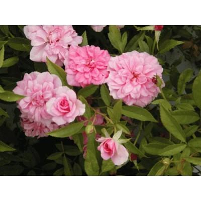 バラ苗四季咲きピンク色 ウィーピング チャイナ ドール  送料別途 毎年11月中旬から翌年05月までお届けの苗