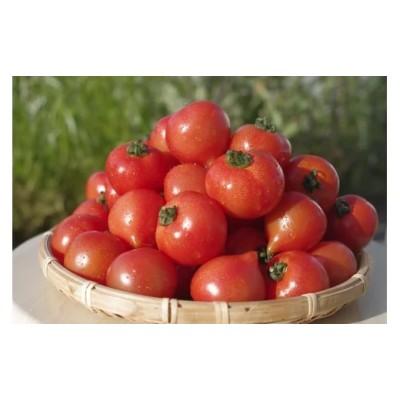 期間限定 大切に育てたフルーツトマト(フルティカトマト)1.2kg