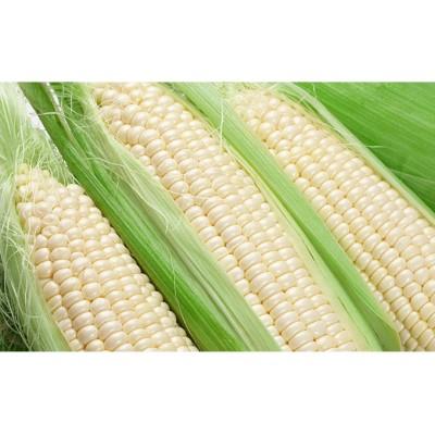道塚農園の白いとうきび ロイシーコーンL-LL 18~20本 約10kg