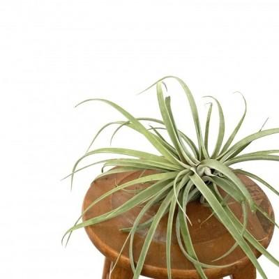 (現品) チランジア リオホンドエンシス (No.21301)   (エアープランツ ティランジア 観葉植物 おしゃれ 壁掛け インテリア ミニ 小型 吊り下げ カピタータ)