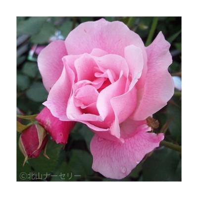薔薇(バラ)の苗木 CL スパニッシュビューティ(5号接木苗)