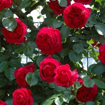 鉢植え6寸 ルージュ ピエール ドゥ ロンサール Rouge Pierre de Ronsard 国産ノイバラ台木使用