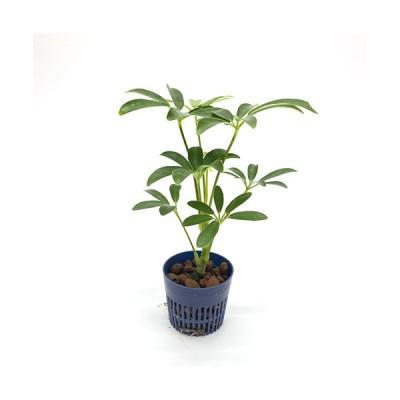 シェフレラ コンパクタクィーン リトル苗 1.5号 4.5Φ 観葉植物 ハイドロカルチャー 水耕栽培 インテリアグリーン